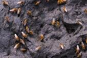several brown flies on dry cow dung