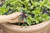 Horizontal photo of female holding fresh sweet dark leaf basil with pot in background