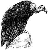 Bird White-rumped Vulture