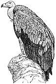 Bird Himalayan Vulture