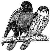 Birds Amur Falcon