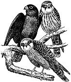 Birds Red-footed Falcon