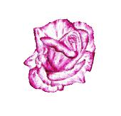 Painted rose flower on glass.