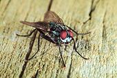 House fly on wooden table macro