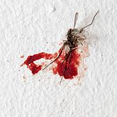 Killed mosquito on a wall
