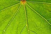 Leaf pattern, green, veins, backlit, nature, fresh close up, macro
