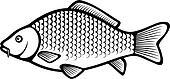 Carp fish (Common carp)
