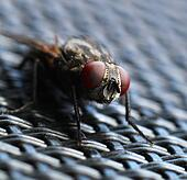 House fly macro closeup