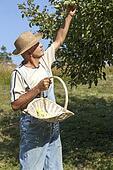 Gardener picking organic apples