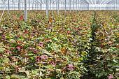 Rose cultivation in a big Dutch greenhouse