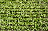 Crops of mustard as a green manure an field
