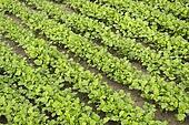 Mustard as a green manure in summer