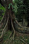 Gigantic Tree Roots