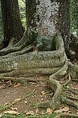 Gigantic roots on the ground