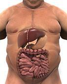 Intestinal Internal Organs