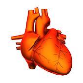Heart - Internal organs - isolated