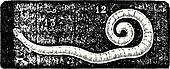 Pinworm or Enterobius, vintage engraving.