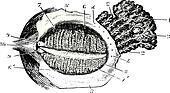 Faced with deep eyelid lacrimal gland, vintage engraving.