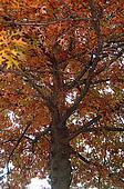 Aged Mighty Oak Tree