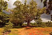 Big tree ceiba on the ranch, Cuba
