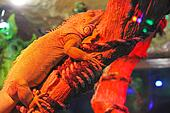 Chameleon is sleeping on the dry branch of a red light