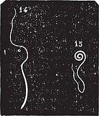 Whipworm or Trichuris trichiura, vintage engraving.