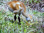 Baby Sandhill Crane 070