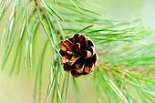 cone on pine branch