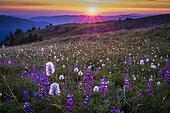 Mountain wildflowers backlit by sunset