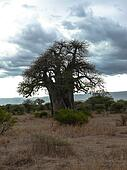 serengeti tree