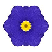 Blue Primrose Flower Kaleidoscope Isolated on White