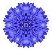 Blue Chrysanthemum Flower Kaleidoscope Isolated on White