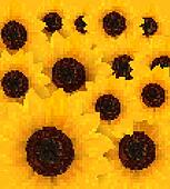 Nature background with yellow sunflowers. Vector illustration.