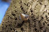 nuthatch on a tree trunk