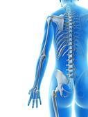 The arm bones