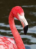 Flamingo bird portrait