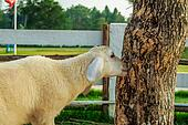 Sheeps Grazing Tree