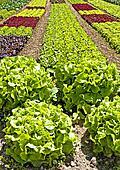 salad cultivation