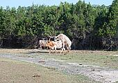 Longhorn Cattle Mating
