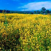 Yellow Mustard Field