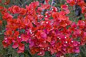 Red Bougainvillea Flower
