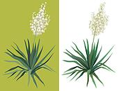 Flowering plant Yucca