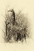 Sepia Image of Giraffe eating leaves