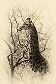 Old Sepia Image Giraffe Head Side Profile
