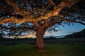 Big tree at dusk