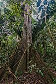 big tree in the peruvian Amazon jungle at Madre de Dios Peru